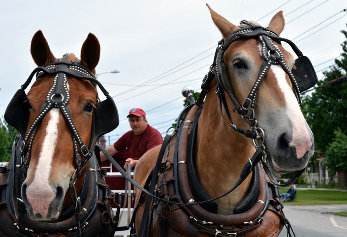 These two horses that will pull a carriage await the start of the 2016 Stevens Alumni parade. (1/250 sec., F8, automatic-no flash mode, ISO 110, 40mm).Photo: Stephen C. Fitch June 11, 2016 10:21 AM